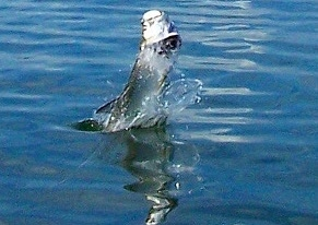 garcia mosquito lagoon tarpon on fly
