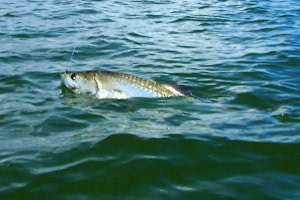 garcia lagoon tarpon on fly