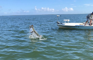 big tarpon caught mosquito lagoon