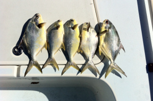 New Smyrna Beach pompano