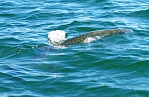 ponce inlet area tarpon