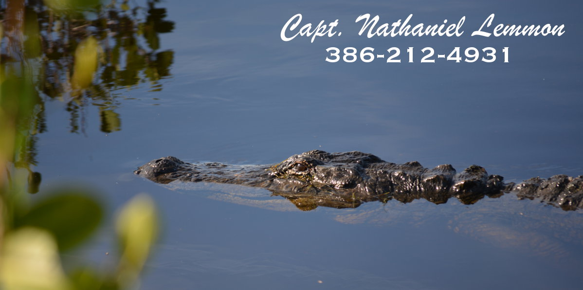 alligator photo from mosquito lagoon