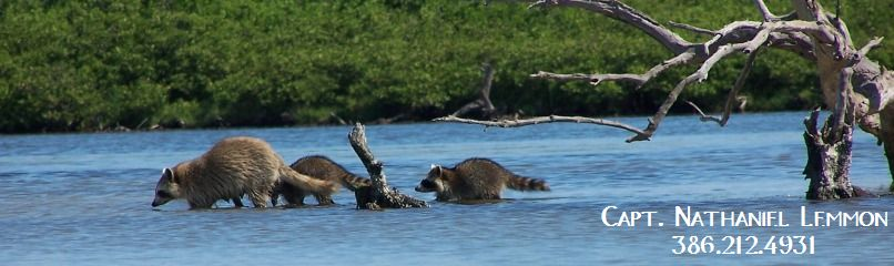 Raccoon family in Mosquito Lagoon