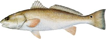 Redfish or Red Drum