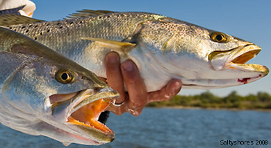 faq speckled trout