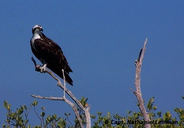 Indian River Lagoon osprey